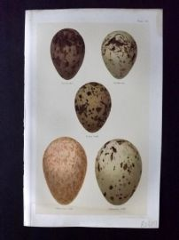 Seebohm 1896 Antique Bird Egg Print. Kittiwake, Ivory Gull, Glaucous Gull 32